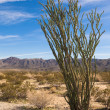 Ocotillo Cactus — Stock Photo