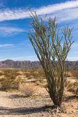Ocotillo Cactus — Stock Photo