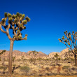 Stock Photo: JoshuTrees