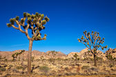 Joshua Trees — Stock Photo