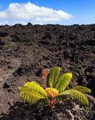 Lonely Plant on a Lava Field — Stok fotoğraf