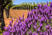 Flowers and Vineyards — Stock Photo