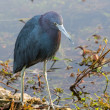 Stock Photo: Green Heron