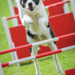 Stock Photo: Dog agility