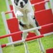 Royalty-Free Stock Photo: Dog agility