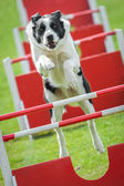 Dog agility — Stock Photo