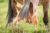 Pony al pascolo — Foto Stock