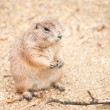 Prairie dog — Stock Photo