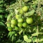 Tomato plant — Stock Photo #41613965