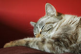Sleeping tabby cat — Stock Photo
