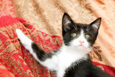 Kitten posing — Stock Photo