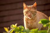 Tabby cat tongue — Stock Photo