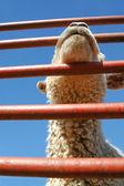Market lamb — Stock Photo