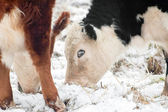 Cattle grazing in snow — Stock Photo