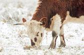 Young bull grazing — Stock Photo