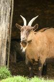 Billy goat — Stock Photo