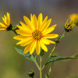 Jerusalem artichoke.  Topinambur — Stock Photo