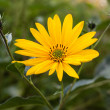 Stock Photo: Topinambur. Jerusalem artichoke