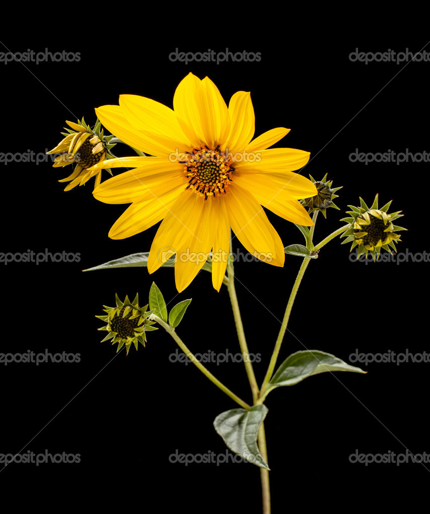 Topinambur. Jerusalem artichoke isolated on black background — Stock Photo #13245299