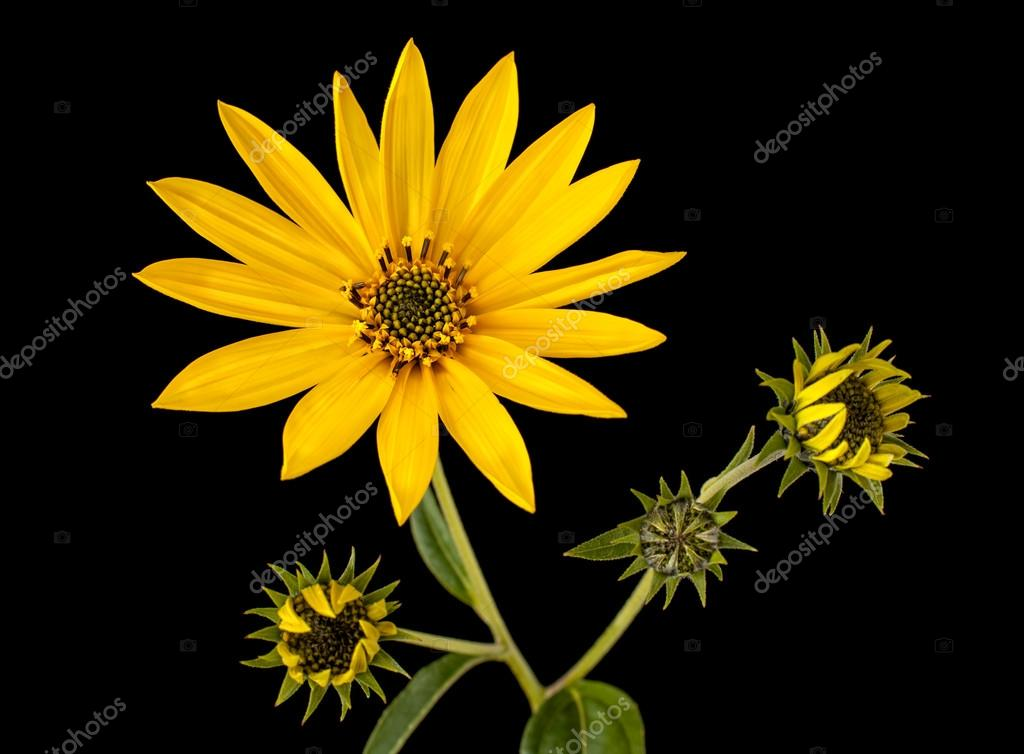 Topinambur. Jerusalem artichoke isolated on black background  Stock Photo #13245352