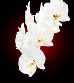 White orchid — Photo
