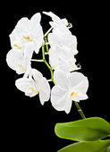 White orchid — Stock fotografie