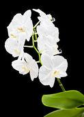 Witte orchidee — Stockfoto