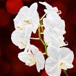 White orchid — Stockfoto