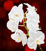 White orchid — Foto Stock