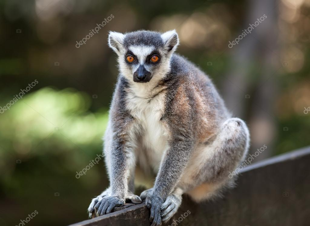 Portrait of lemur catta (ring tailed lemur)  Stock Photo #13523474