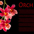 ������, ������: Orchid