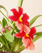 Orchid — Stockfoto