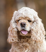 American Cocker Spaniel — Stock Photo