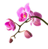 Pink orchid on white — Stock Photo