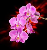 Pink orchid on dark — Foto de Stock