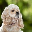 American Cocker Spaniel (1,5 years) — Stock Photo