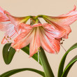 Three Amaryllis (Hipperastrum) flowers - Stock Photo