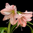 Amaryllis (Hipperastrum) flowers isolated on black — Stockfoto