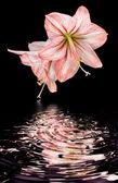 Amaryllis (Hipperastrum) flowers isolated on black — Stock Photo