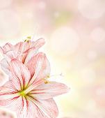 Amaryllis abstract floiral background — Stock Photo