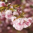 Sakura. Cherry blossom branch — Photo