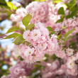 Sakura. Cherry blossom branc — Stock Photo
