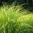 Long leaves of grass illuminated by sun — Stock Photo #26212281