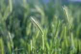 Close up of Wheat — Stock Photo