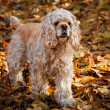 American cocker spaniel in autumn forest — Photo