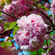 Stock Photo: Sakura. Cherry blossom branch