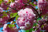 Sakura. Cherry blossom branch — Stock Photo