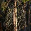 Stock Photo: Old pine tree lit by rays of sun