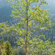 Stock Photo: Birch tree in sun light against forest-covered mountains