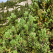 Young pine trees on slopes of High Tatras — Stock Photo #30336043